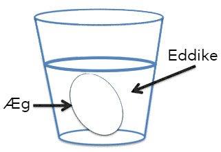 Æggeskallen er lavet af kalk, der langsomt vil nedbrydes af syren i eddiken. Hvad betyder det for dyrene i havene? Figur: Christina Bramow
