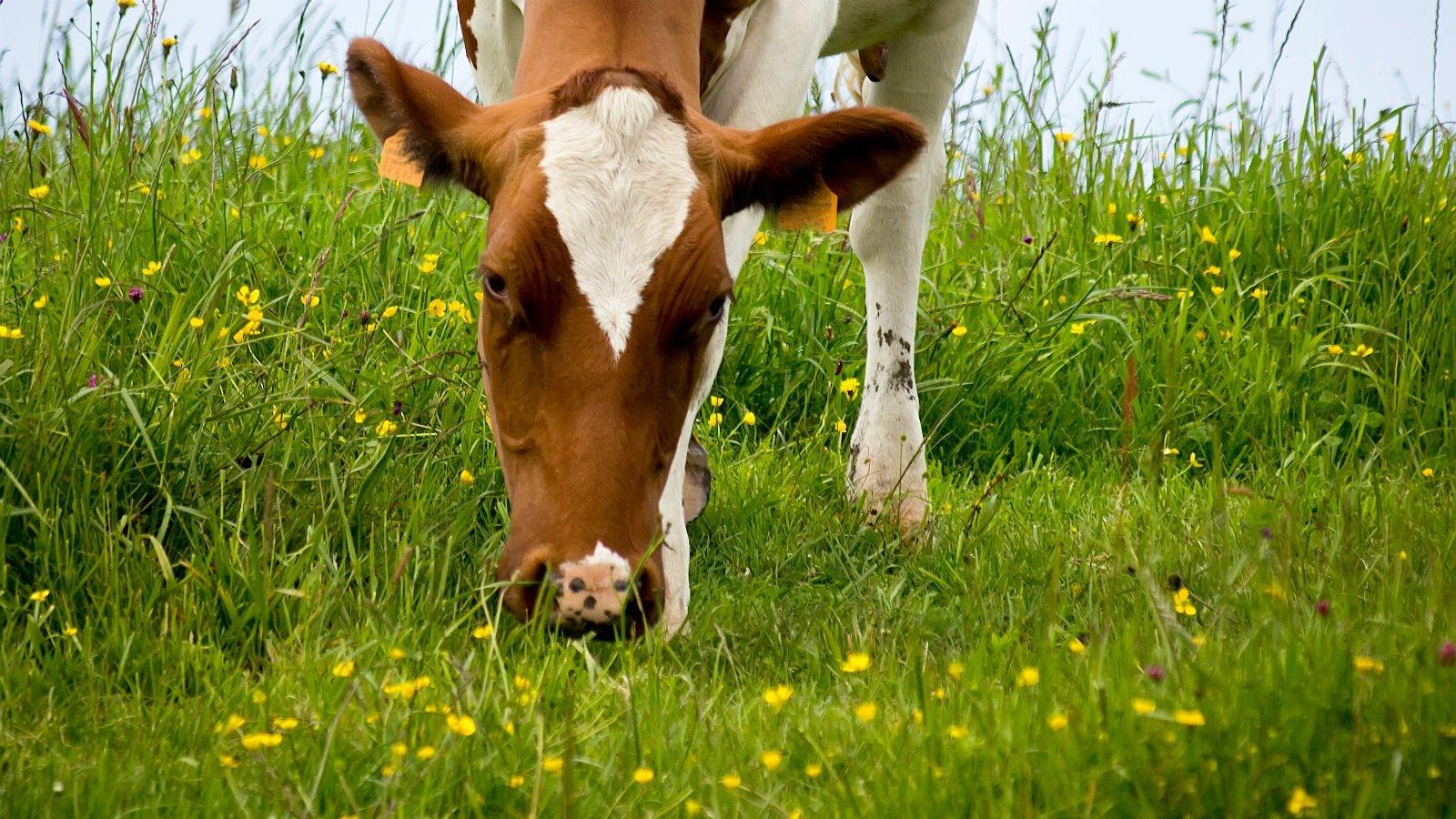 Metan frigives blandt andet fra tarmen på køer.