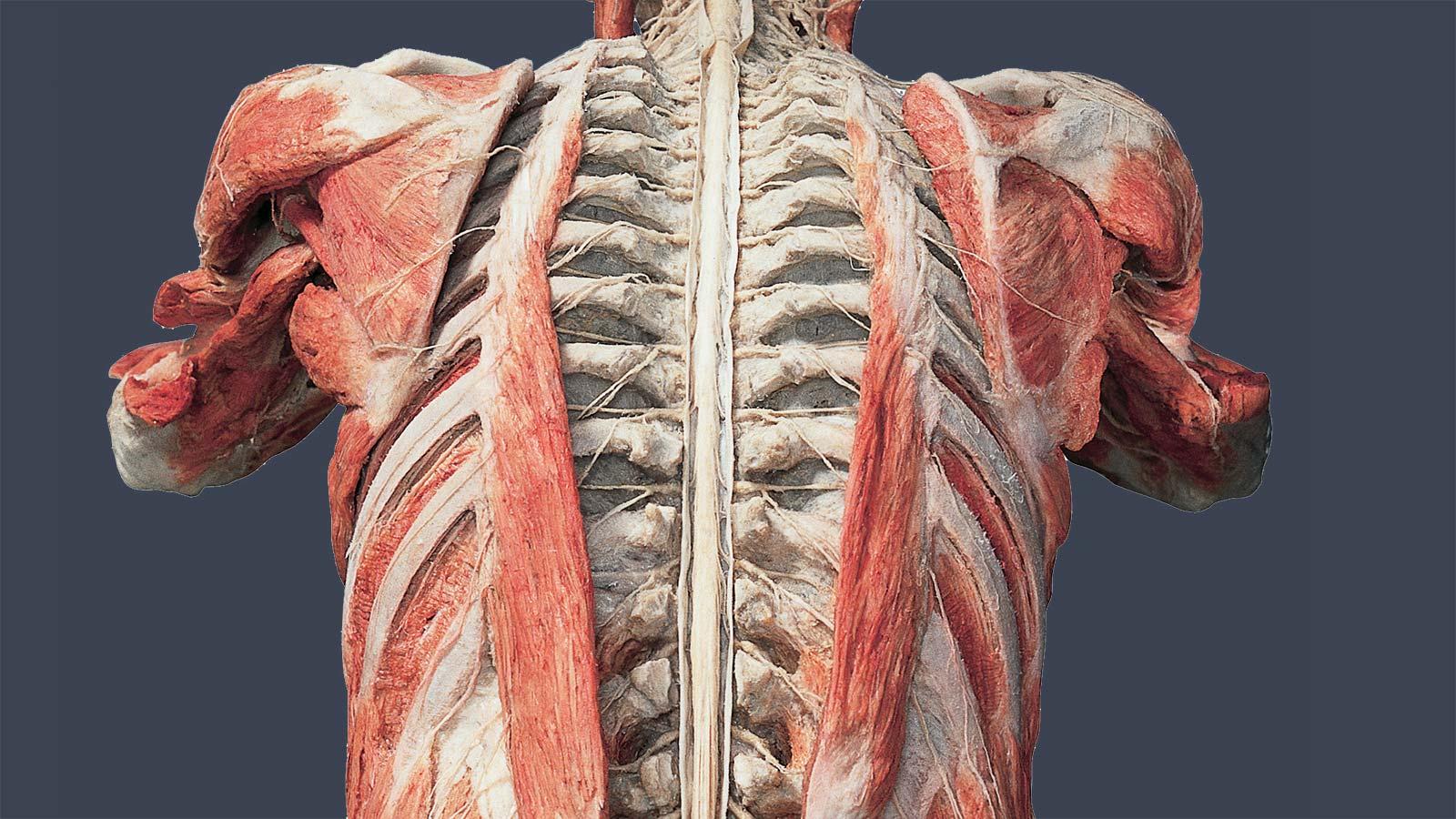 BODY WORLDS kroppen Experimentarium