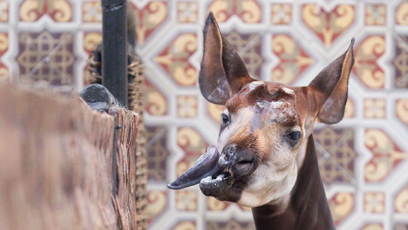4 mærkværdige dyr: Her ses en okapi